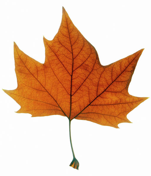 Leaf Venation Wall Art - Photograph - Red Autumn Leaf by Gustoimages/science Photo Library