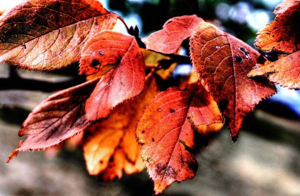 Photograph - Red Autumn Leaves by David Matthews