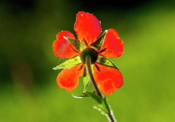 Eastern Europe Wall Art - Photograph - Red Avens (geum Coccineum) Flower by Bob Gibbons