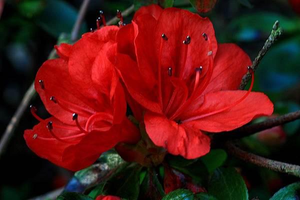 Photograph - Red Azalea Flower by Jeremy Hayden