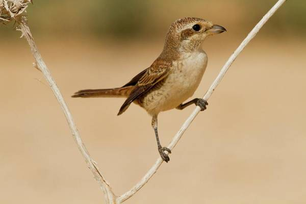 Back In The Day Photograph - Red-backed Shrike (lanius Collurio) by Photostock-israel