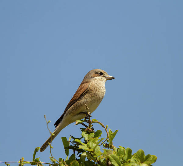 Urban Wildlife Photograph - Red-backed Shrike Lanius Collurio by Wayne Parsons