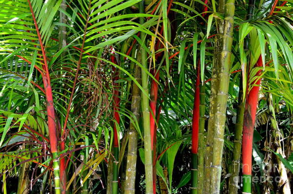 Allerton Garden Photograph - Red Bamboo by Mary Deal