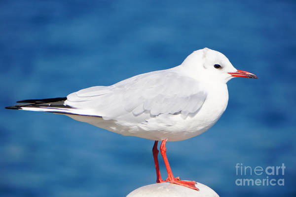 Photograph - Red-beaked Seagull Resting On The Port by Beverly Claire Kaiya