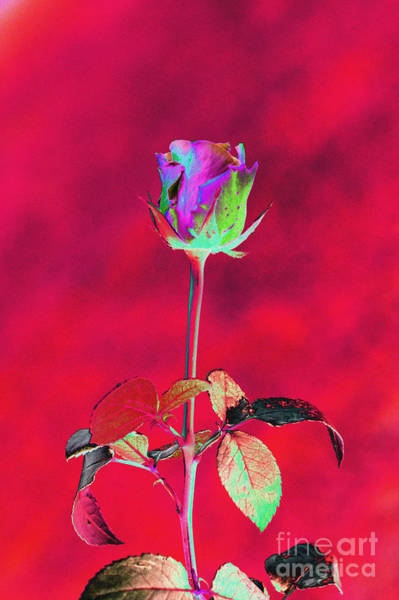 Purple Rose Digital Art - Red Beauty by Carol Lynch