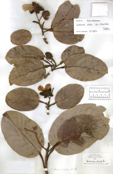 Wall Art - Photograph - Red Beech Dillenia Alata Leaves by Natural History Museum, London/science Photo Library