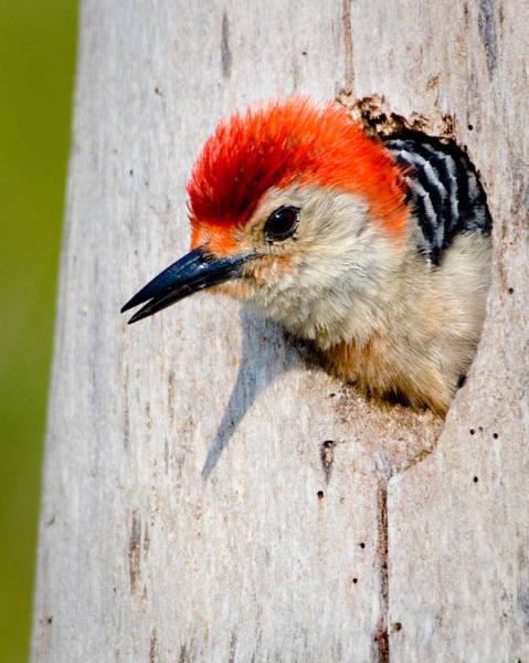 Red-bellied Woodpecker II Art Print