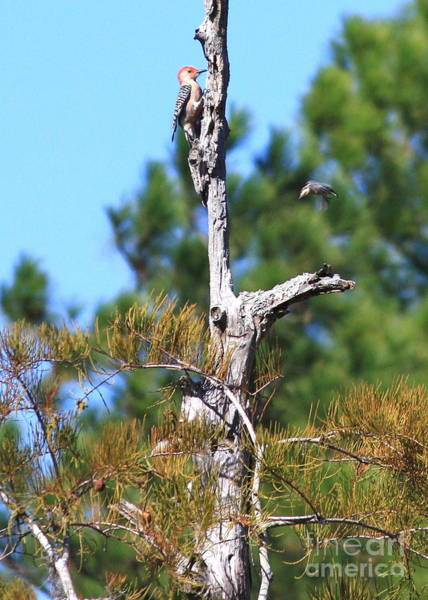 Red Bellied Woodpecker Photograph - Red-bellied Woodpecker In Cypress Tree by Carol Groenen
