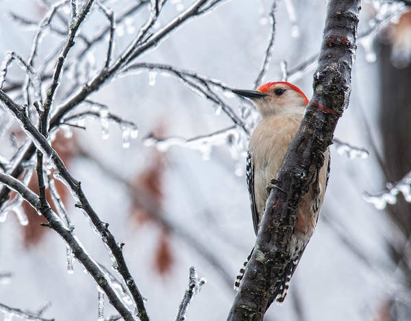 Red Bellied Woodpecker Photograph - Red Bellied Woodpecker In Winter by Lara Ellis