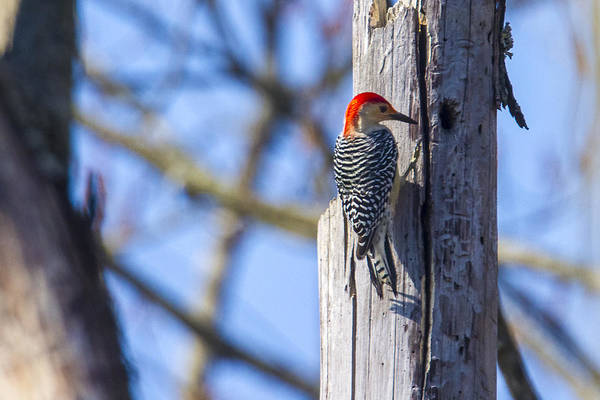 Photograph - Red Bellied Woodpecker by Jack R Perry