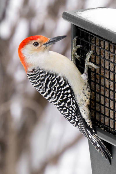 Red Bellied Woodpecker Photograph - Red-bellied Woodpecker by Jim Hughes