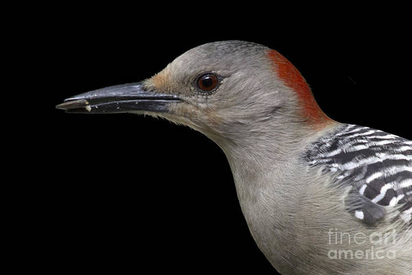 Photograph - Red-bellied Woodpecker by Meg Rousher