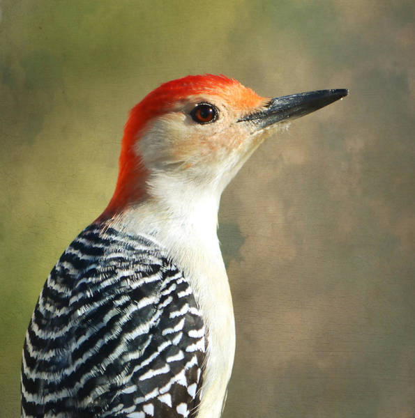 Red Bellied Woodpecker Photograph - Red Bellied Woodpecker Portrait by Deena Stoddard
