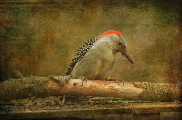 Red Bellied Woodpecker Photograph - Red-bellied Woodpecker by Susan Capuano