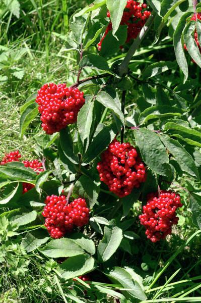 Elder Photograph - Red-berried Elder (sambucus Racemosa) by Brian Gadsby/science Photo Library