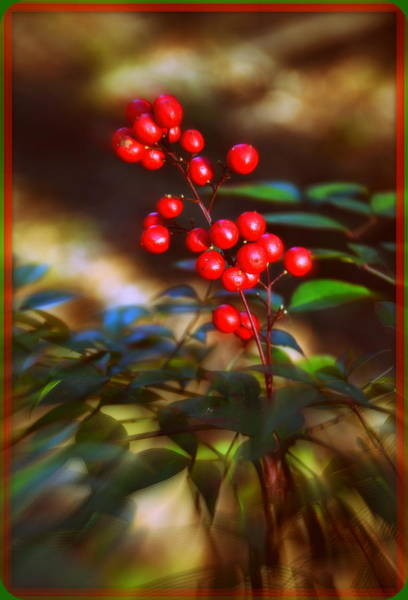 Photograph - Red Berries by Lisa Wooten