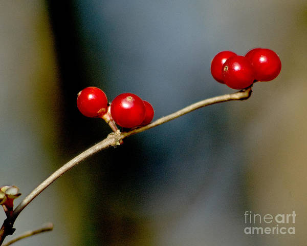 Photograph - Red Berries by Michael Arend