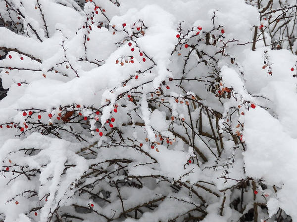 Photograph - Red Berries White Snow by Nancy De Flon