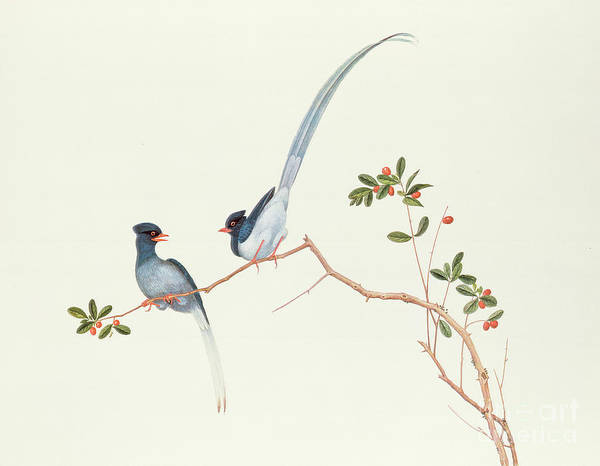 Ornithological Wall Art - Painting - Red Billed Blue Magpies On A Branch With Red Berries by Chinese School