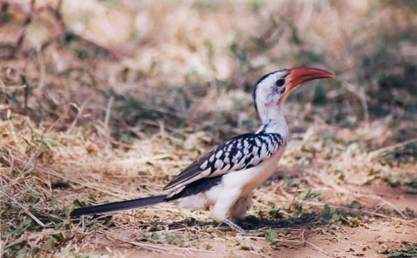 Photograph - Red-billed Hornbill by Belinda Greb