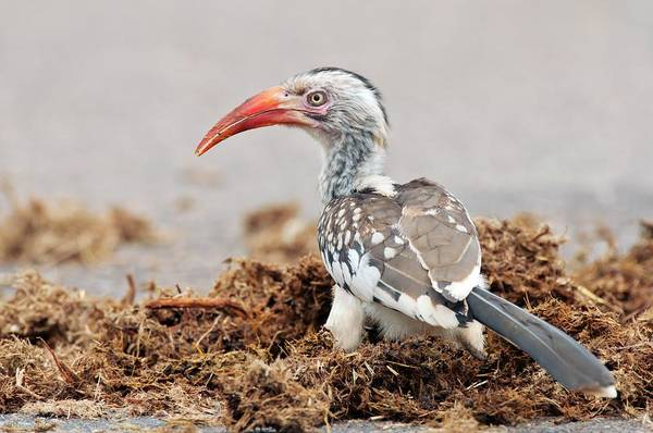Hornbill Photograph - Red-billed Hornbill Feeding by Peter Chadwick/science Photo Library