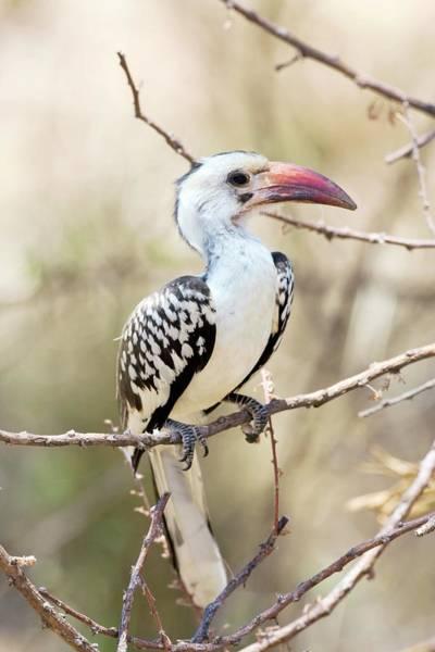 Hornbill Photograph - Red-billed Hornbill by John Devries/science Photo Library
