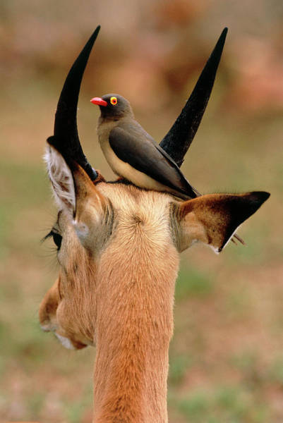 Wall Art - Photograph - Red-billed Oxpecker On An Impala by Tony Camacho/science Photo Library