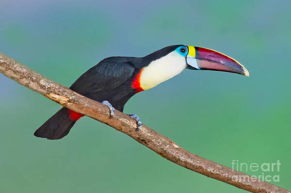 Ramphastidae Photograph - Red-billed Toucan by Anthony Mercieca