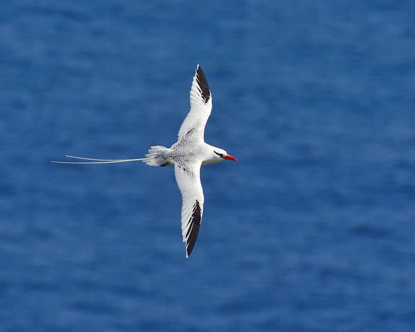 Photograph - Red-billed Tropicbird by Tony Beck