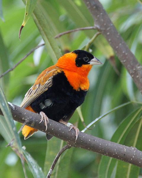 Photograph - Red Bird 1 by Wayne Wood