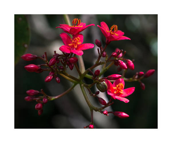 Photograph - Red Jatropha Blossoms by Gene Norris