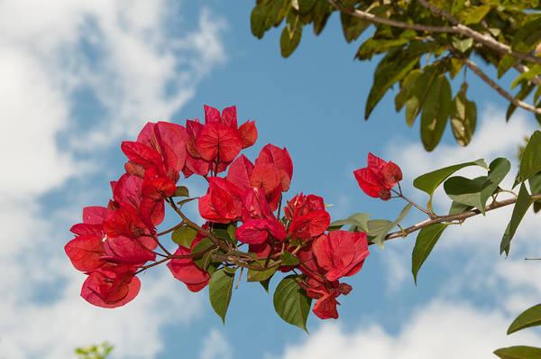 Chichen Digital Art - Red Bouganville Chichen Itza by Carol Ailles