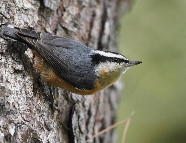 Photograph - Red-breasted Nuthatch by Steve Wolfe