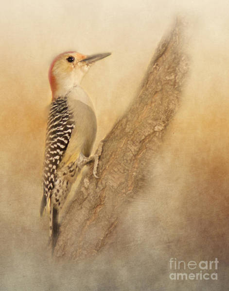 Photograph - Red-bellied Woodpecker by Pam  Holdsworth