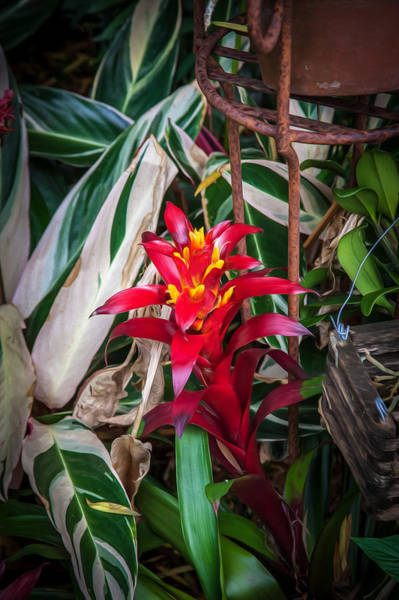 Bromelia Photograph - Red Bromeliad And Tricolor Gingers by Rich Franco