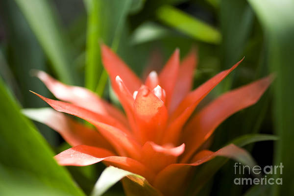 Photograph - Red Bromeliad by Charmian Vistaunet