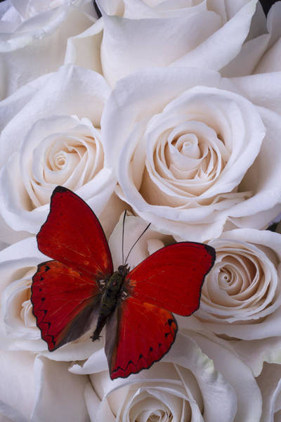 Aesthetic Photograph - Red Butterfly Among White Roses by Garry Gay