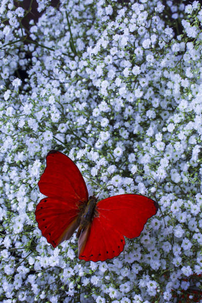 Breath Photograph - Red Butterfly And Baby's Breath by Garry Gay