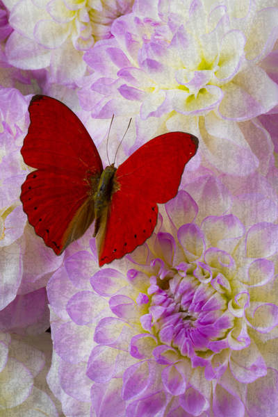 Softly Photograph - Red Butterfly On Dahlias by Garry Gay