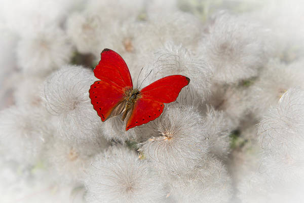 Softly Photograph - Red Butterfly On Flower Fluff by Garry Gay