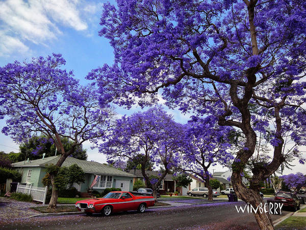 Digital Art - Red Car Purple Tree by Bob Winberry