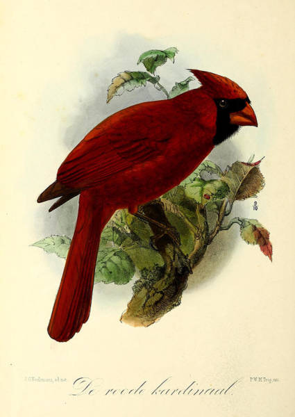 Ornithological Wall Art - Painting - Red Cardinal by Dreyer Wildlife Print Collections