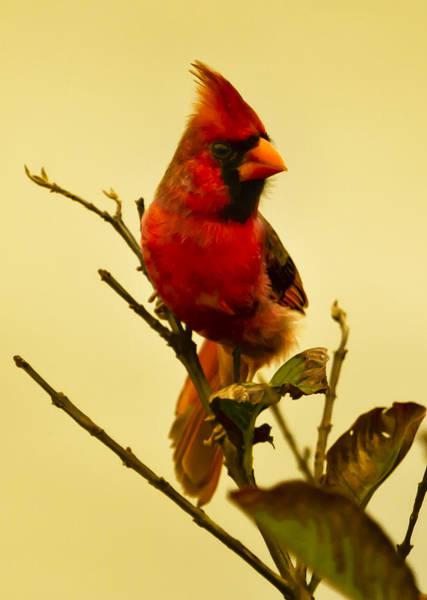 Photograph - Red Cardinal No. 2 - Kauai - Hawaii by Belinda Greb