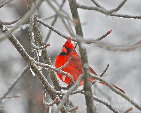 Wall Art - Photograph - Red Cardinal Northern Bird by Peggy Franz