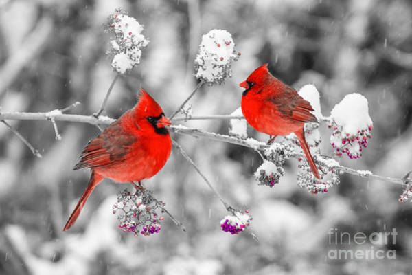 Photograph - Red Cardinals In The Snow by Anthony Sacco