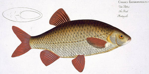 Ichthyology Wall Art - Painting - Red Carp by Andreas Ludwig Kruger