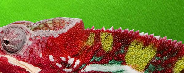 Digital Art - Red Chameleon On Green by Serge Averbukh