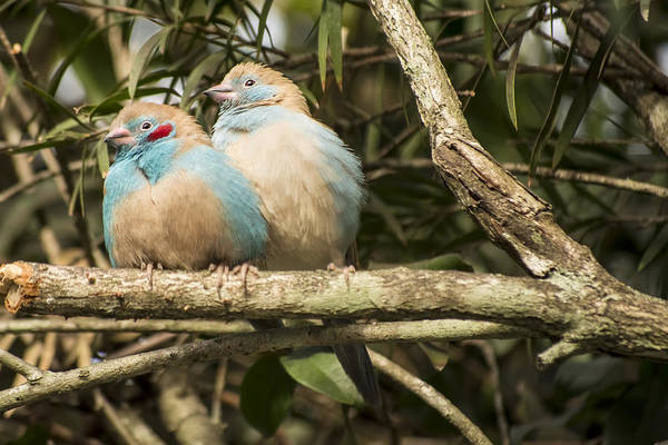 Photograph - Red Cheeked Cordon-bleu Pair by Penny Lisowski