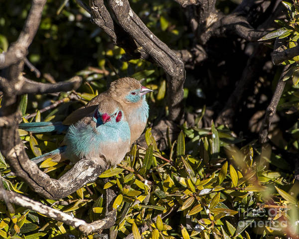 Photograph - Red Cheeked Cordon Blue Finches by Steven Ralser