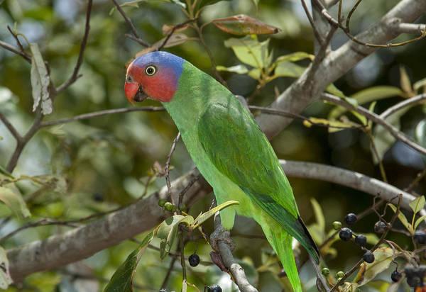 D Day Photograph - Red-cheeked Parrot Queensland Australia by D. Parer & E. Parer-Cook